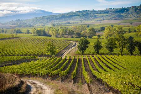 montalcino: Colorful panoramic view in Tuscany - vineyards close to Montalcino, Italy.