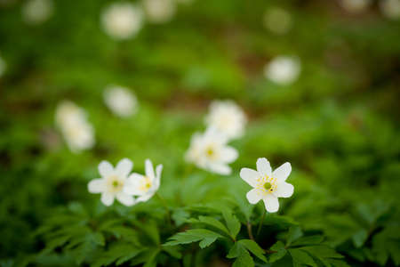 macrophotography: Macro photography of beautiful blooming anemone flowers - sign of spring season.