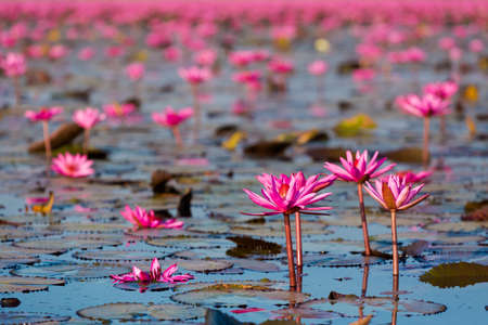 Beautiful Red Lotus Sea Kumphawapi full of pink flowers in Udon Thani in northern Thailand. Flora of south east Asia.