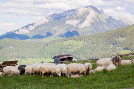 Beautiful panorama in Tatry mountains glade, Rusinowa Polana. Open air sheeps rearing