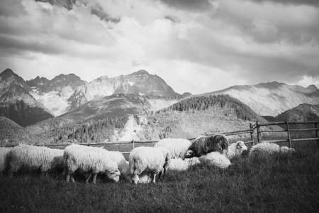 tatra: Beautiful panorama in Tatry mountains glade, Rusinowa Polana. Open air sheeps rearing in black and white