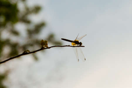 thousands: Dragonfly on Don Khone islands in south Laos. Wildlife taken on four thousands islands on Mekhong river in south east asia during summer sunset.