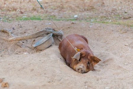 Raising pig on Don Det island in south Laos. Life on four thousands islands Si Phan Don on Mekhong river in south east asia during summer. Banco de Imagens