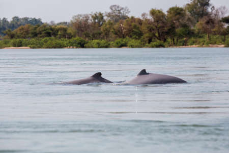 Rare irawaddy dolphins boat trip from Khongyai beach on Don Khone island in south Laos. Landscape taken from boat on four thousands islands on Mekhong river in south east asia during summer. Banco de Imagens