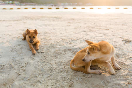 Friendly dogs relaxing on white sand beach os south east Asia. Tawaen beach on Koh Larn island in Thailand. Stock Photo