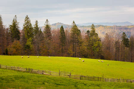 Autumn landscape photo with sheeps taken in polish Beskidy mountains, Grabowa. Archivio Fotografico