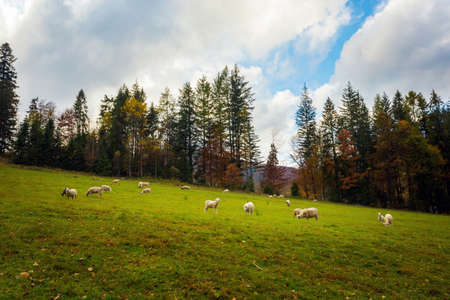 Autumn landscape sheeps photo of woods in polish Beskidy mountains, on the path to WIelka Racza.