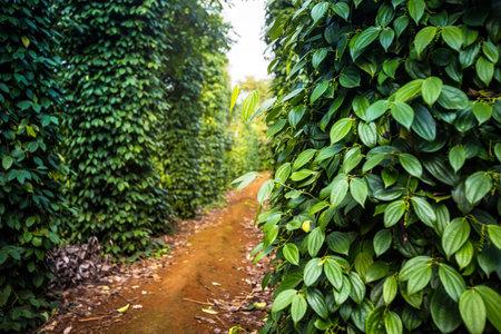 Vietnaese pepper farm in Dong Ha, Quang Tri. Fresh growing unripe peppercorns. 免版税图像
