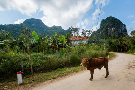 Beautiful green vivid landscape with farm animals in National Park Phong Nha Ke Bang in Vietnam. Rural scenery photo taken in south east Asia.