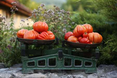 Pile of red juicy italian ripe tomatoes on the old scalepan among green oregano herb.