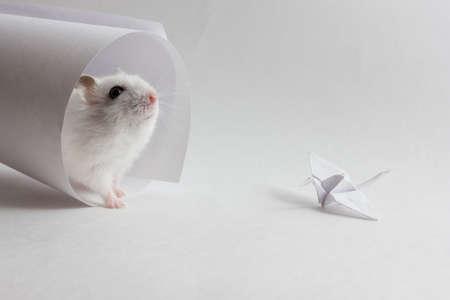 tonalit�: Jungar hamster