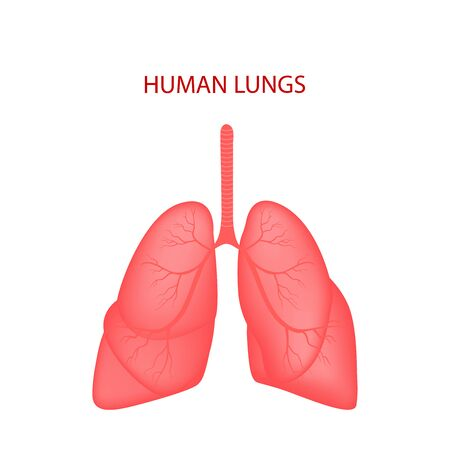 Realistic Lung anatomy.Lungs icon.  Respiratory system realistic vector illustration.Internal organs of the human design element. Anatomy, medicine concept. Healthcare. Isolated on white background. Vector illustration