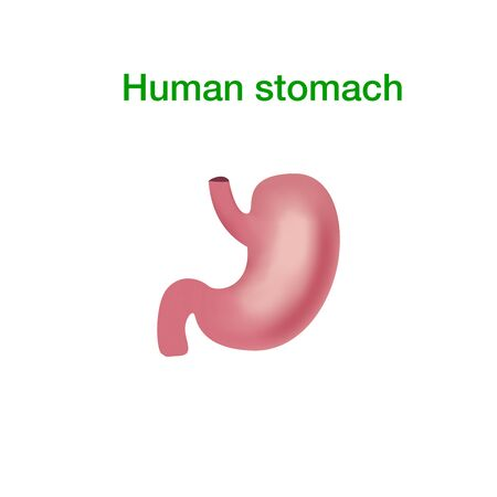 Vector realistic human stomach icon isolated on white background. Illustration of the human internal organ.