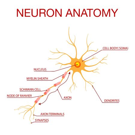 Diagram of Neuron Anatomy.Illustration of the structure of a neuron