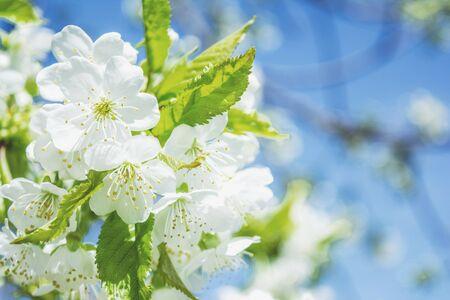 blaming: Spring flowering tree branch sky blaming flowers close up