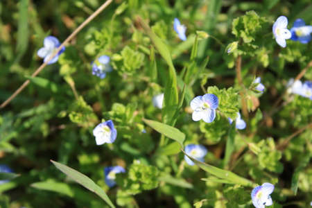 Veronica flower or gypsyweed with blue flowers has been used in traditional Austrian herbal medicine internally