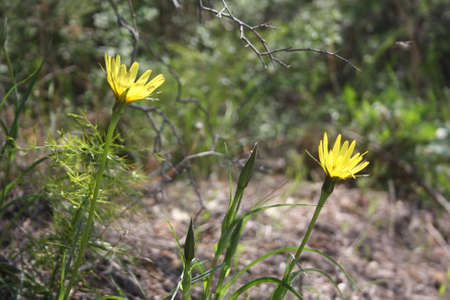 Hawkweed can be distinguished by its solitary yellow flowers on this green stems.