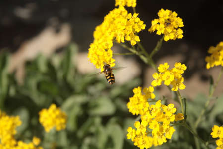 Alyssum plant with golden yellow flowers and striped bee. In Spring, this beautiful plant yields a rare honey rich in flavonoids and proteins.
