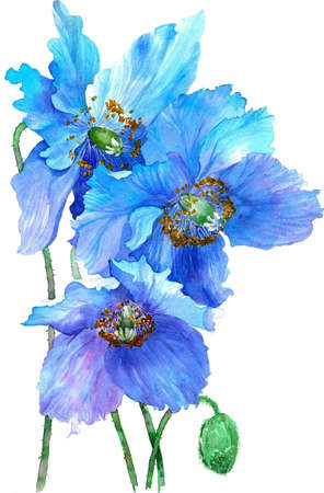 Watercolor illustration of blues poppies isolated on white background. Stock Photo