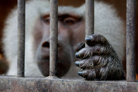 A monkey sitting inside a cage and holding the grid. The paw is in focus.