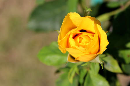Yellow rose with green leaves in the garden. Copy space.