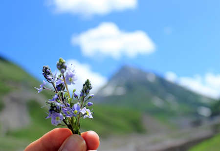 A little bouquet of veronica plant in fingers on the background of mountains and blue sky with clouds. Veronica flower or gypsyweed with blue flowers has been used in traditional Austrian herbal medicine internally Stok Fotoğraf