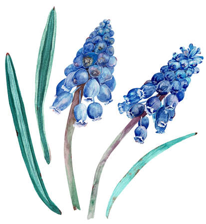 Watercolor cobalt-blue muscari with green leaves. Botanical floral illustration isolated on white background.