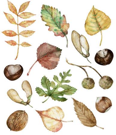 Aquarell-Herbst-Set aus handgezeichneten, isolierten Haselnüssen, Kastanien, Ahornsamen, Planetree-Samenhülsen, Eichen-, Birken-, Pappel- und Aschenblättern. Botanische Abbildung. Standard-Bild