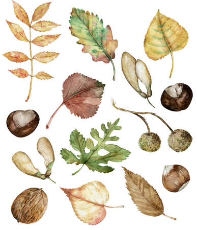 Set autunnale ad acquerello di nocciole, castagne, semi di acero, baccelli di planetree, quercia, betulla, pioppo e frassino isolati disegnati a mano. Illustrazione botanica. Archivio Fotografico