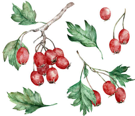 Watercolor illustration of hawthorn red berries and green leaves on branches. Botanical art. Hand-drawn clipart.