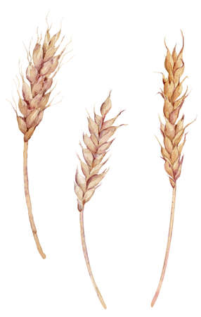 Set of three ears of wheat painted with watercolor. Isolated hand-drawn illustration. Bread baking, harvest concept.