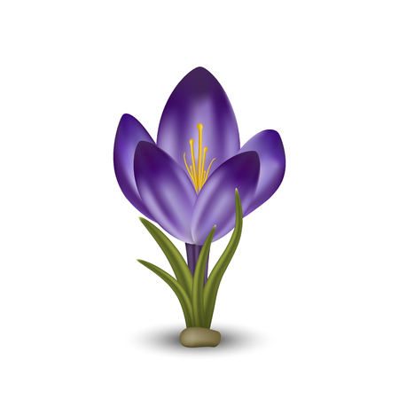 Vector realistic flower crocus. Isolated object on white background. Gradient mesh tool
