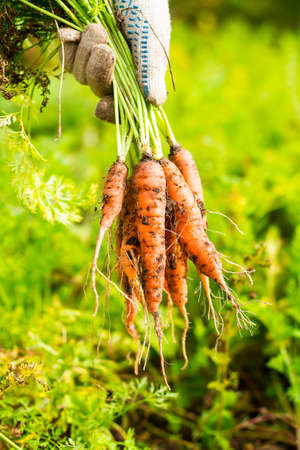 Fresh carrot bunch in hands in protective gloves, selective focus