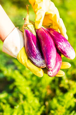 Closeup of a big organic eggplant in a womans hands. Farming and gardening. Healthy food concept. Outdoor photography. Earth Day.