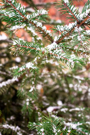 Coniferous evergreen tree. Branch of evergreen tree with snow.
