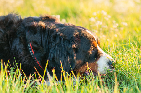Bernese Mountain Dog on a meadow