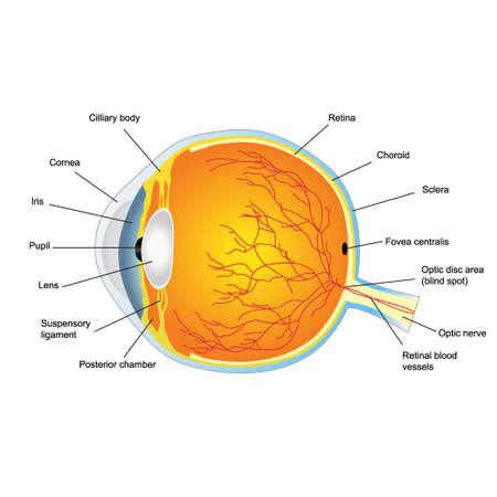 cornea: Illustrazione della struttura anatomica dell'occhio umano