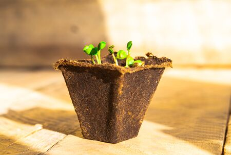 Green fresh plants in the biodegradable pot on wooden background. Seedling at home