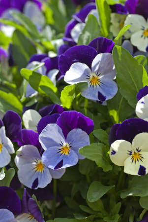 Group of small pansy flowers in a flowerbed in spring  photo