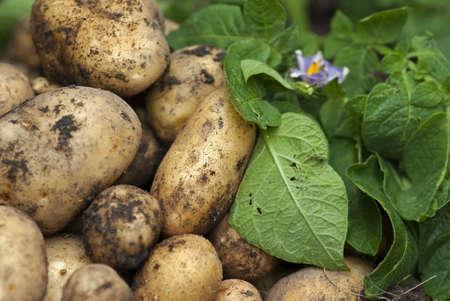 potato leaves: New potatoes with green leaves and purple potatoe flower