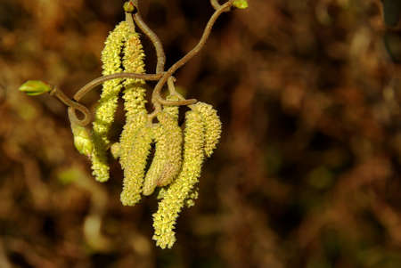 albero nocciola: Closeup of catkins on the hazel tree with blurred background. Archivio Fotografico