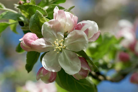 Closeup of blossoming apple tree branch in spring.
