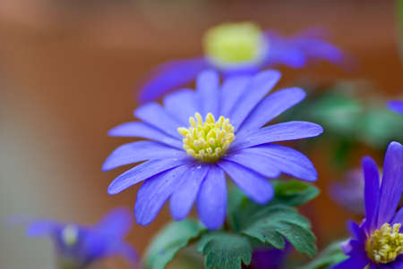 windflower: Closeup of blue Greek Windflower in spring. Stock Photo
