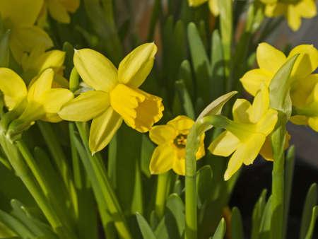 massif de fleurs: Groupe de jonquilles jaunes dans le parterre de fleurs au printemps.
