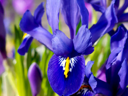 Closeup of blue dwarf iris in spring. Stock Photo - 9293032