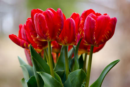 Large bouquet of red tulips. photo