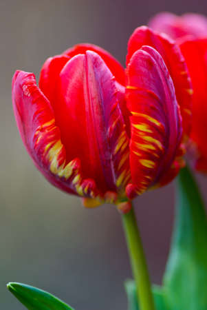 Red tulip on grey background. Stock Photo - 9303925