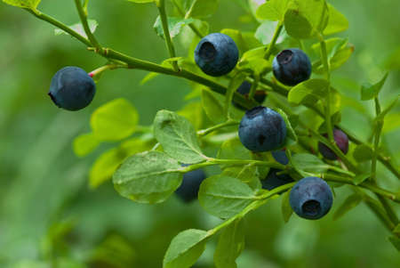 greenness: Sprig with wild blueberries in forest