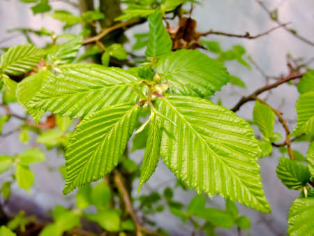 hornbeam: Branch of hornbeam with fresh green leaves in spring  Stock Photo