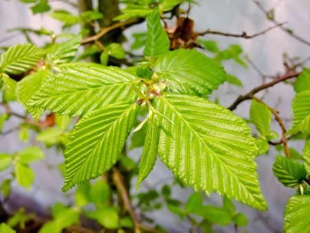 Branch of hornbeam with fresh green leaves in spring